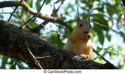 Red Squirrel Eating Nut Sitting on a Tree Trunk. Slow Motion