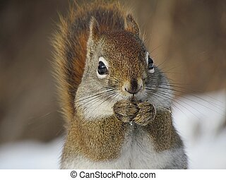 Red Squirrel eating some seeds