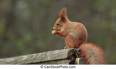 Red Squirrel Eats - Red squirrel sits on an old wooden...