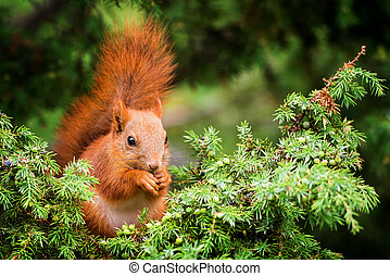 Red squirrel in juniper tree and is eating berrys with its...