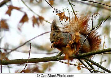 red squirrel in the autumn park