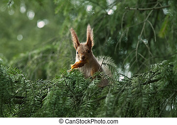 red squirrel in the branches of fir