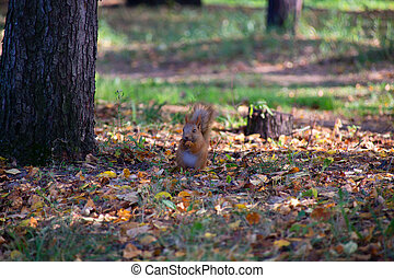Red Squirrel in the forest eating a hazelnut