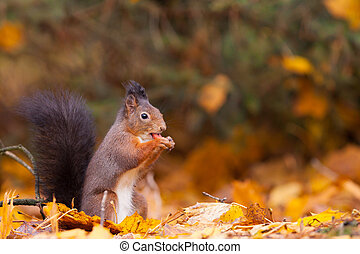 Red Squirrel in the forest eating a peanut