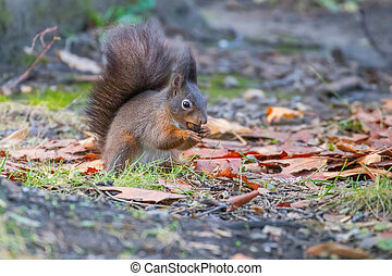 Red squirrel in the park (Sciurus vulgaris)