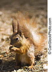 Red squirrel in wood
