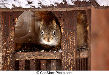Red Squirrel inside of bird feeder in winter