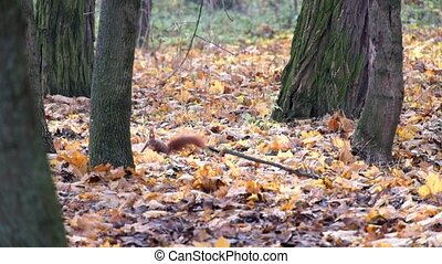Red squirrel is looking for something in the dry fallen leaves of the autumn forest (Sciurus vulgaris)