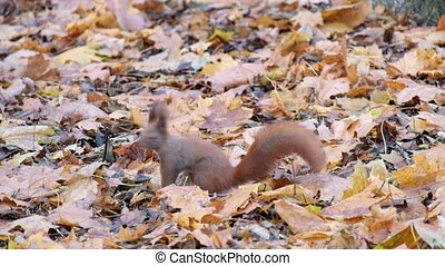 Red squirrel is looking for something in the dry fallen...