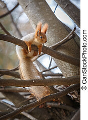 Red squirrel is sitting on a branch in the forest