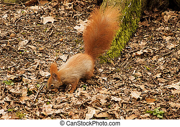 red squirrel looking for food in park