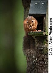 Red Squirrel on a Bird Feeder