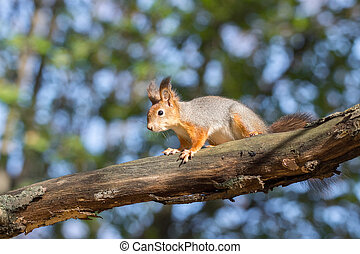 red squirrel on a branch in autumn