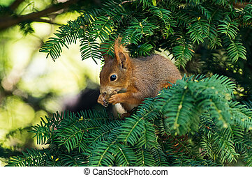 Red squirrel on a branch - Squirrel on a fir branch