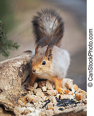 red squirrel on a feeding trough in the forest