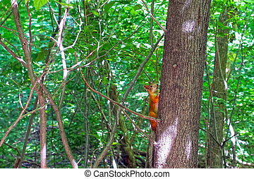 Red squirrel on a tree in the forest