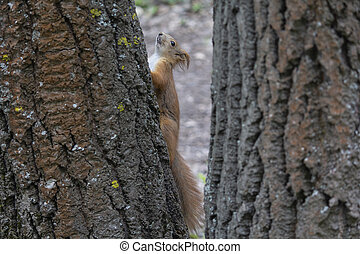 Red squirrel on a tree in the forest. Animals