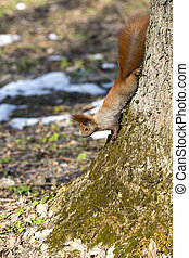 red squirrel on a tree trunk hanging down