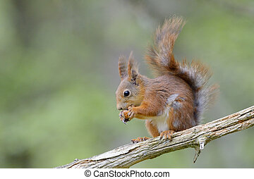 Red squirrel on branch eating a nut.