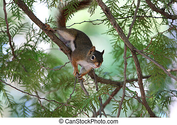 Red Squirrel on branch in summer light