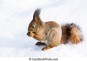 Red squirrel with a bushy tail sits on snow and gnaws a nut