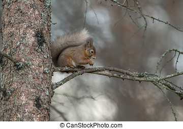 Red Squirrel on the branch of a tree in a forest