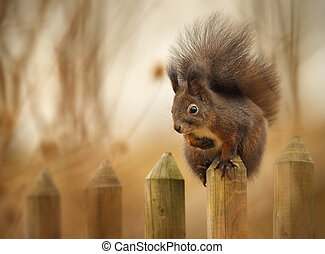 Red squirrel on the fence - Red squirrel getting a higher...