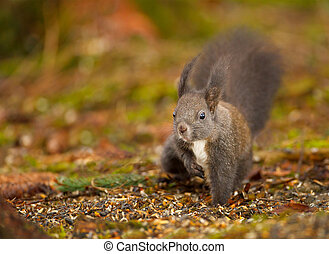 Red squirrel raiding the bird feed