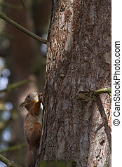 Red Squirrel  (Sciurus vulgaris) climbing  on a tree