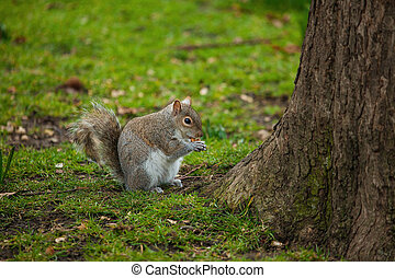 Red squirrel (Sciurus vulgaris) eating a nut