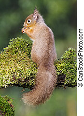 Red squirrel, Sciurus vulgaris, single animal on moss covered log, Dumfries, Scotland, winter
