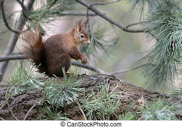 Red squirrel, Sciurus vulgaris, single mammal on branch,...