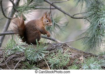 Red squirrel, Sciurus vulgaris, single mammal on branch, Lancastershire, UK, Winter