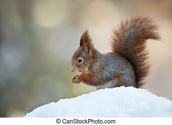 Red squirrel sitting in the snow