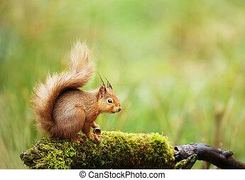 Red squirrel sitting on a mossy log