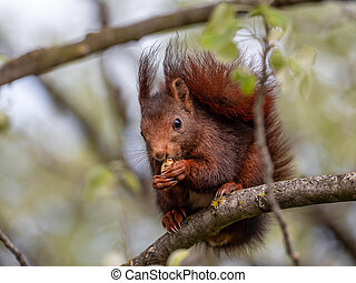 Red squirrel sitting on the branches of the tree and eating