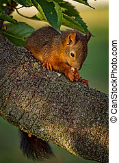 Red squirrel standing on the tree and eating