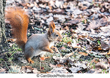 red squirrel with fluffy tail sitting in ground with dry fall leaves