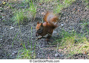 Red squirrel with nut in the city park