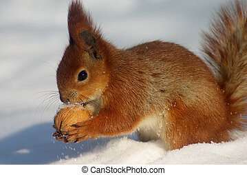 Red squirell with nut in her hands on the snow