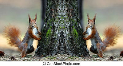 Red squirrels in the forest