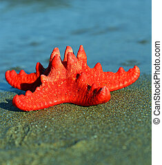 red starfish with sturdy armor and the blue sea