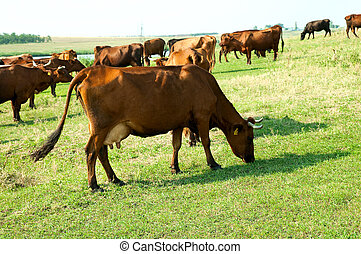 red steppe cows on a pasture