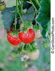 red strawberry berry fortified food - bright red ripe ...