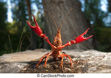 Red swamp crawfish - Portrait of procambarus clarkii, a ...