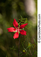 Red swamp hibiscus hibiscus coccineus grows in the Corkscrew Swamp in Naples, Florida