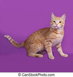 Red tabby cat standing on lilac