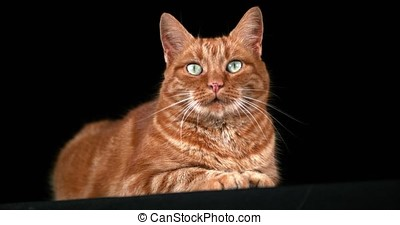 Red Tabby Domestic Cat, Adult Laying against Black...