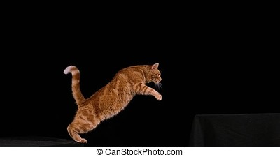 Red Tabby Domestic Cat, Adult Leaping against Black...