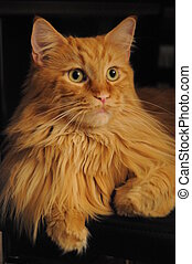 Red Tabby Maine Coon Cat
